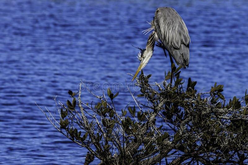 伟大蓝色的苍鹭的巢焦点 库存照片