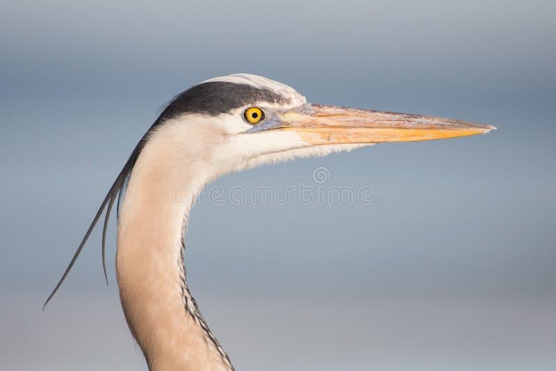伟大蓝色的苍鹭的巢画象,佛罗里达,团结的Stat 免版税库存照片