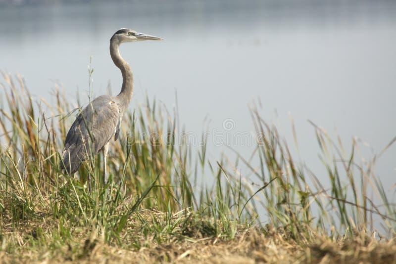 伟大蓝色的苍鹭的巢站立在沼泽的, Apopka,佛罗里达 免版税库存照片
