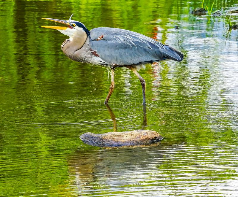 伟大蓝色的苍鹭的巢笑的池塘Vanier公园温哥华加拿大 库存照片