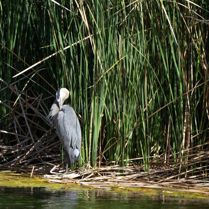 伟大蓝色的苍鹭的巢自夸在日落在沼泽在过时的问题大农场国家公园靠近三角叶杨,亚利桑那 免版税图库摄影