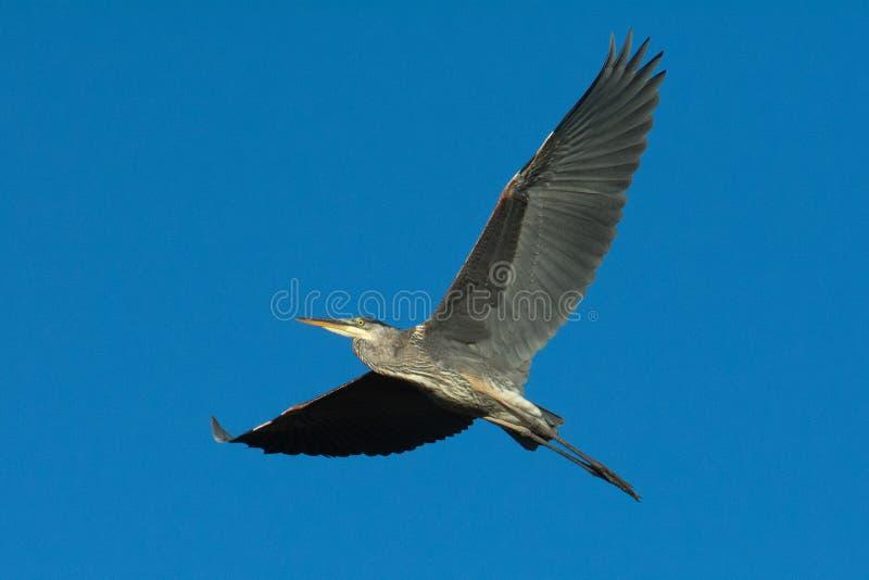 伟大蓝色的苍鹭的巢飞过  库存照片