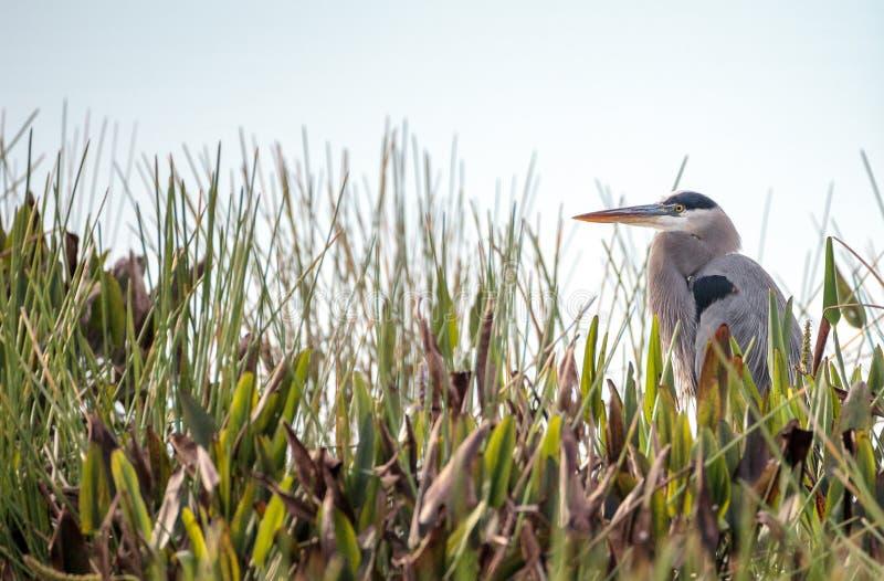 伟大蓝色的苍鹭的巢鸟, Ardea herodias 图库摄影