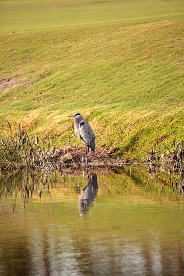 伟大蓝色的苍鹭的巢鸟, Ardea herodias 免版税图库摄影