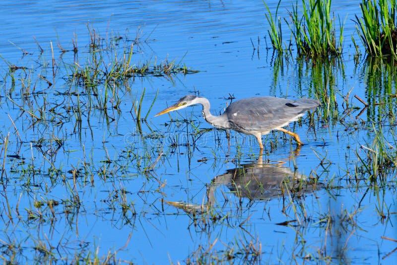 伟大蓝色的苍鹭的巢,当钓鱼时 免版税库存照片