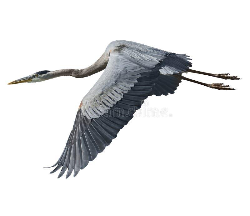 伟大蓝色的苍鹭的巢 库存照片