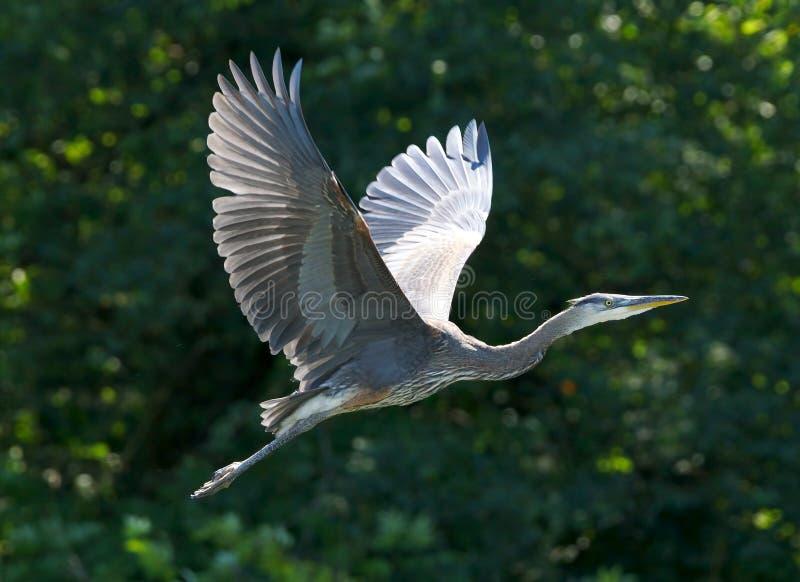 伟大蓝色的苍鹭的巢- Ardea herodias 图库摄影