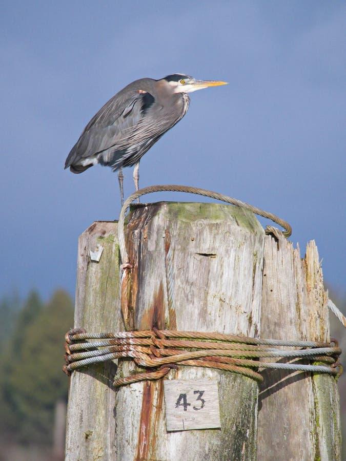 伟大蓝色的苍鹭的巢Ardea herodias站立 库存图片