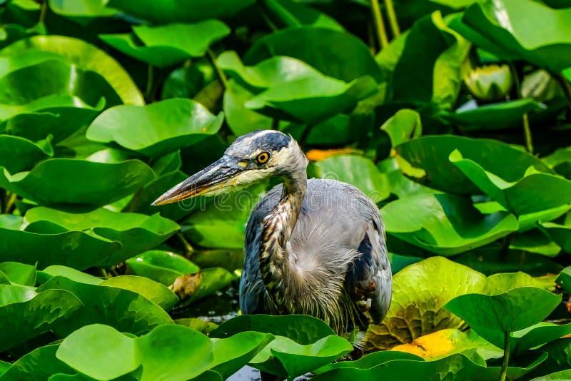 伟大蓝色的苍鹭的巢Juanita海湾公园华盛顿湖柯克兰Washi 图库摄影