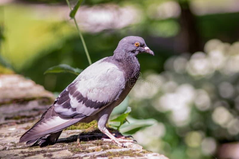 传信鸽是从东部野生鸽子获得的各种各样的家鸽Columba利维亚domestica,基因上 库存图片