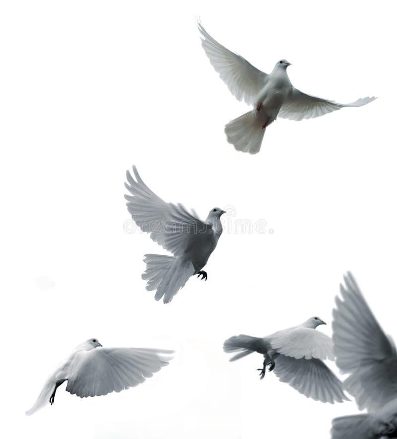 传信鸽 库存图片