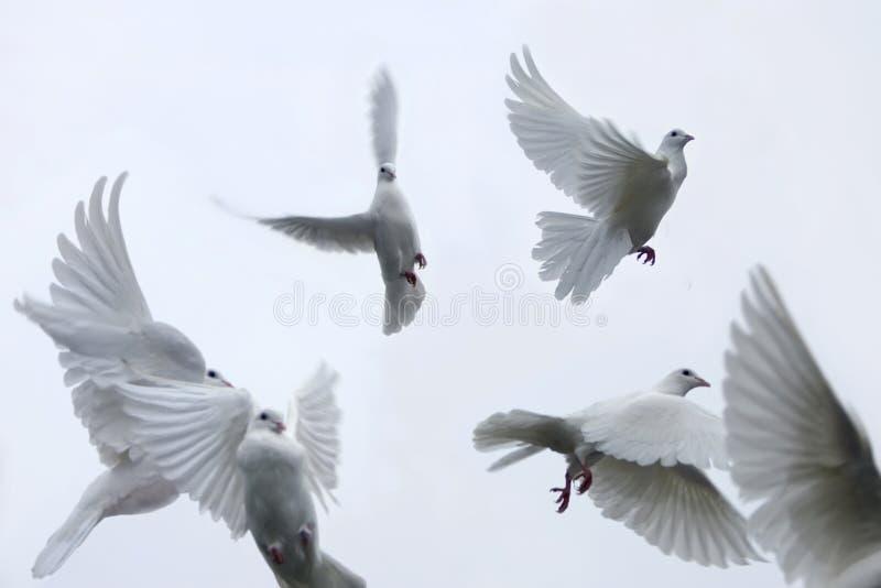 传信鸽 免版税库存图片