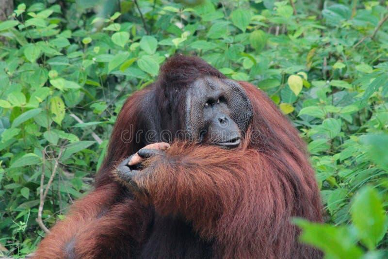 传奇男性指道者婆罗洲猩猩(称Richie)在 免版税库存照片