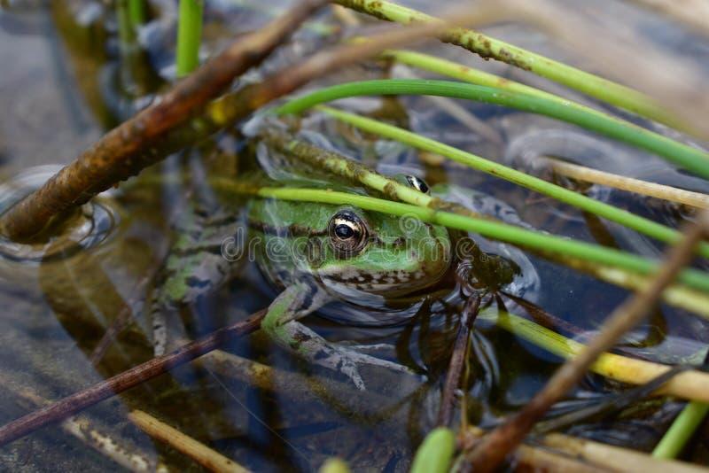 传奇青蛙 库存图片