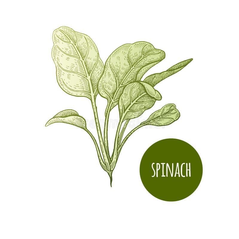 传染媒介例证莴苣菠菜 向量例证