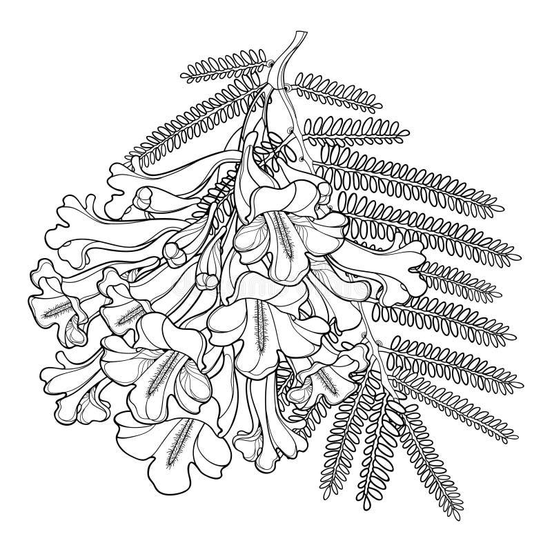 传染媒介分支在白色背景和叶子在黑色隔绝的概述进展的兰花楹属植物mimosifolia花束、芽 皇族释放例证