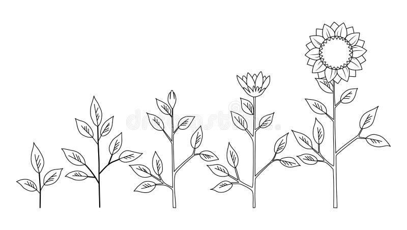 传染媒介向日葵上色概念,抽象花标志的植物生长阶段隔绝在白色背景图片