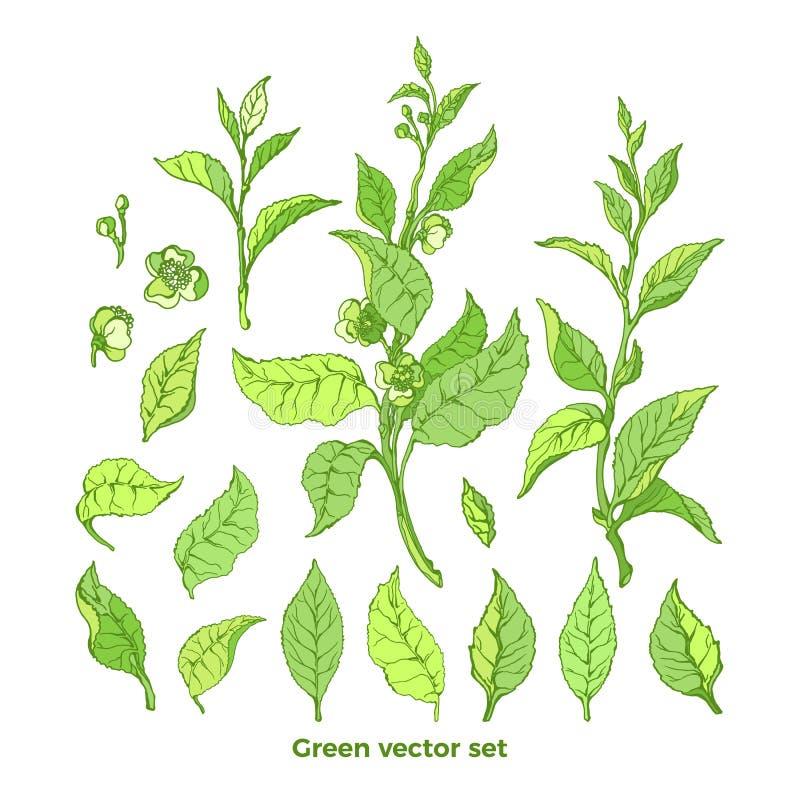 传染媒介套自然分支,叶子,花 灌木绿茶 皇族释放例证