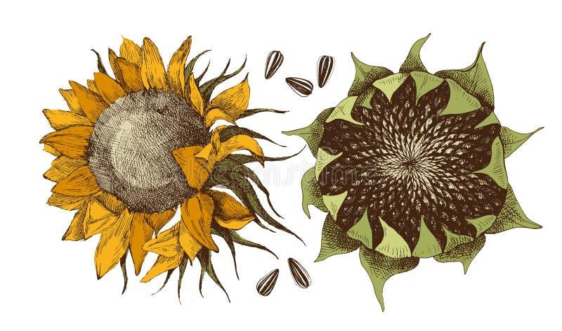 传染媒介手拉的向日葵 库存例证