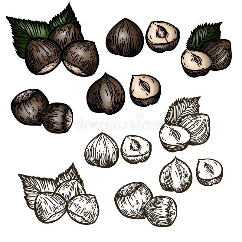 传染媒介手拉的套在葡萄酒样式的榛子 向量例证
