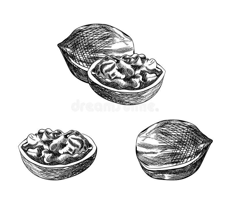 传染媒介核桃剪影,手拉的例证,被设置被隔绝的黑图画 皇族释放例证