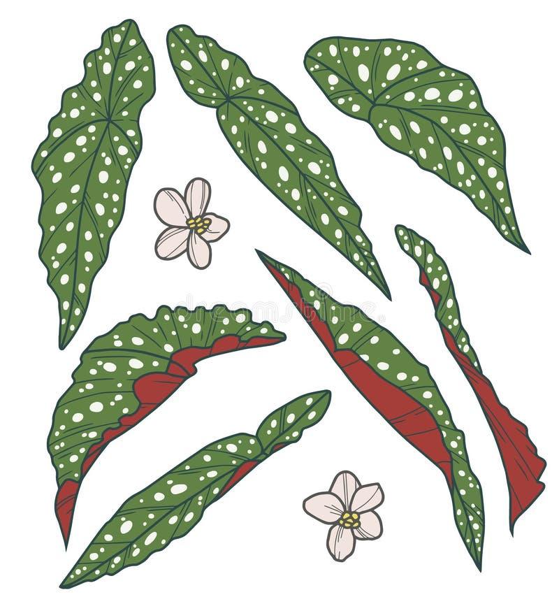 传染媒介汇集套异乎寻常的圆点秋海棠Maculata厂叶子图画 皇族释放例证