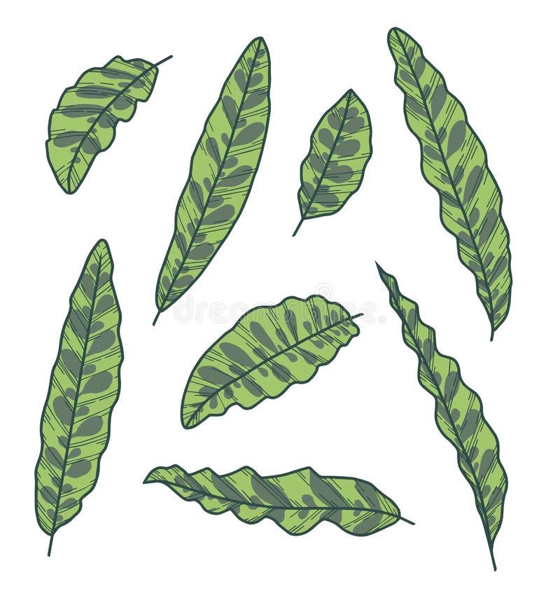 传染媒介汇集套异乎寻常的Calathea Lancifolia响尾蛇厂叶子图画 向量例证