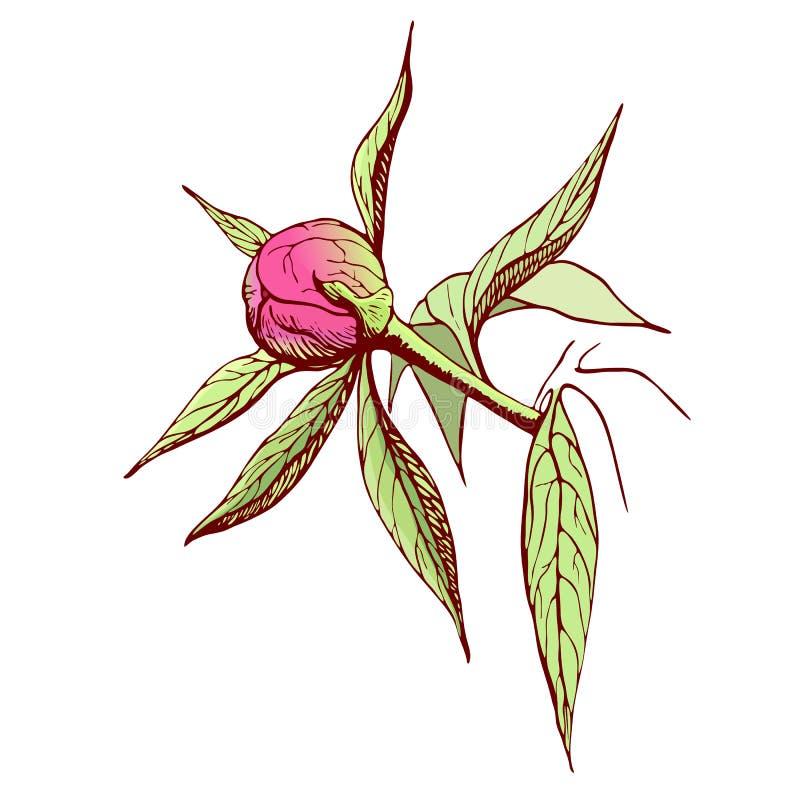 传染媒介牡丹芽 在葡萄酒样式的被刻记的桃红色牡丹花 花卉分支色的剪影 高度详细的手拉的牡丹 皇族释放例证