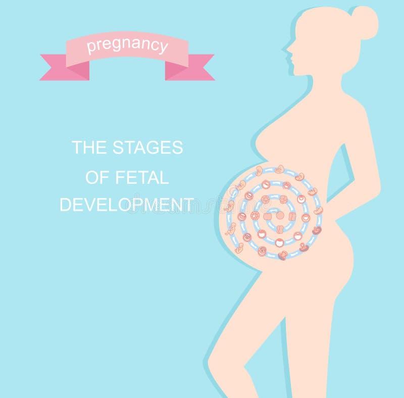 传染媒介胚胎发育例证阶段  r ?? 胎儿成长从受精到诞生 皇族释放例证