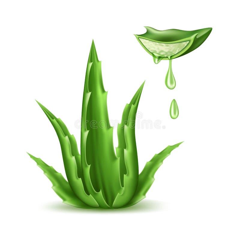 传染媒介芦荟维拉现实植物skincare化妆用品 库存例证