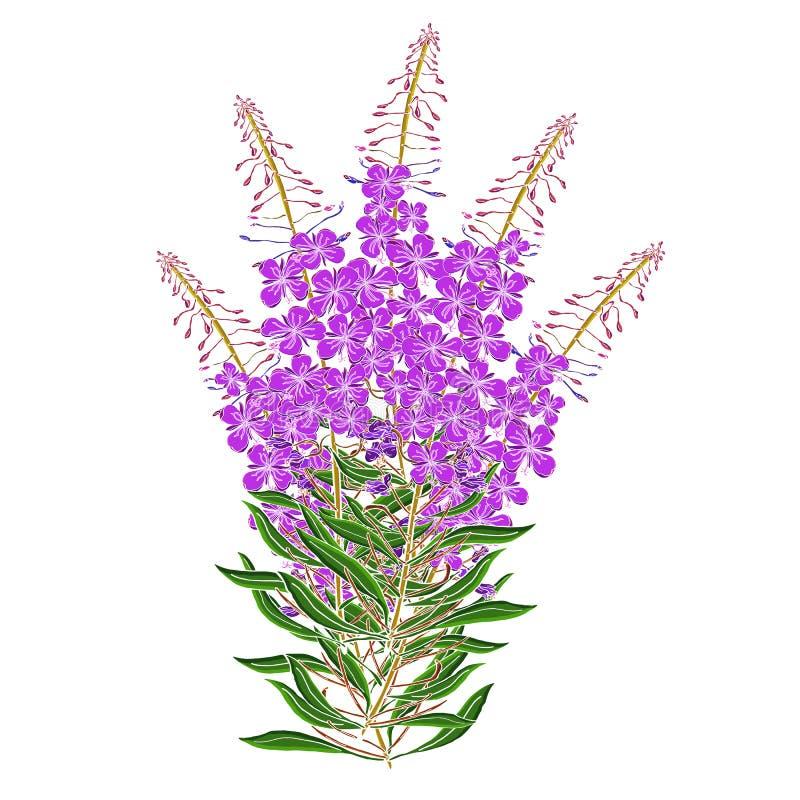 传染媒介Chamerion Angostyfolium花花束  健康和自然医疗植物和茶草本,为自然完善和 库存例证