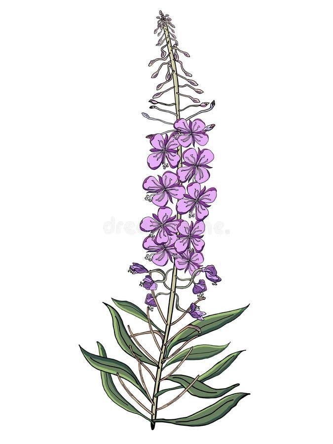 传染媒介Chamerion Angostyfolium花花束  健康和自然医疗植物和茶草本,为自然完善和 向量例证