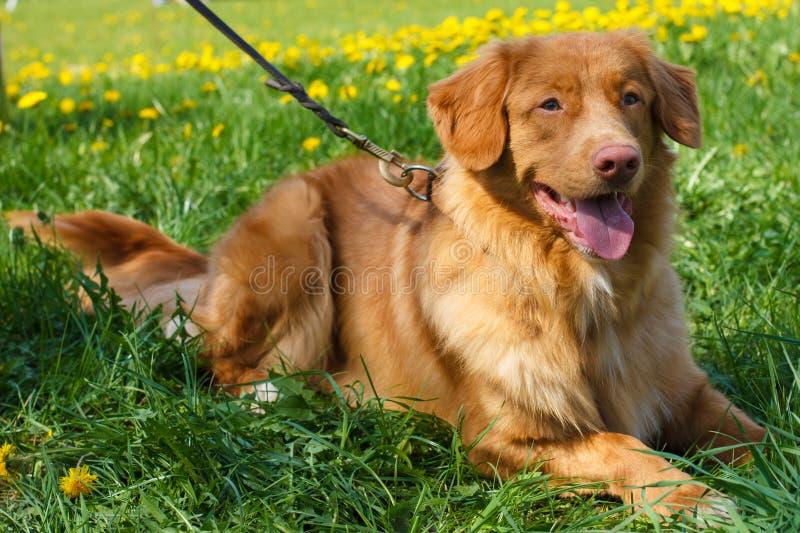 传染媒介剪影两狗品种新斯科舍鸭子敲的猎犬 免版税图库摄影