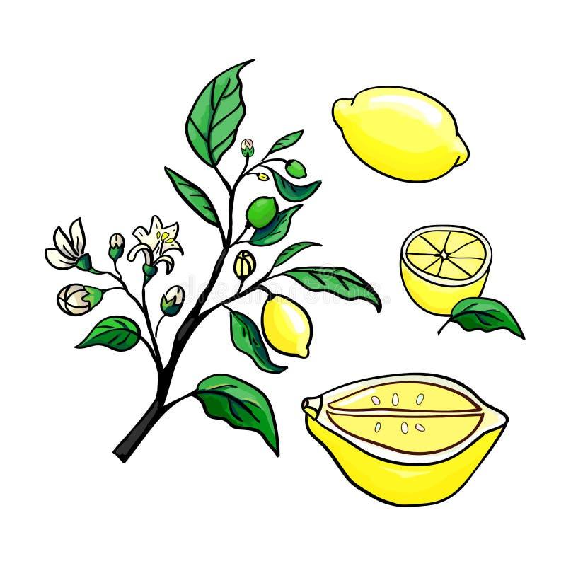 传染媒介柠檬例证 库存照片