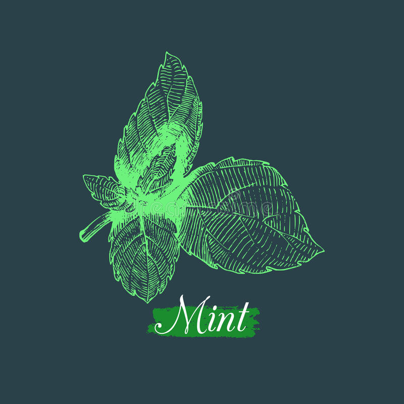 传染媒介薄荷的例证 手拉的芳香植物和烹饪草本剪影 在板刻样式的植物的图画 皇族释放例证