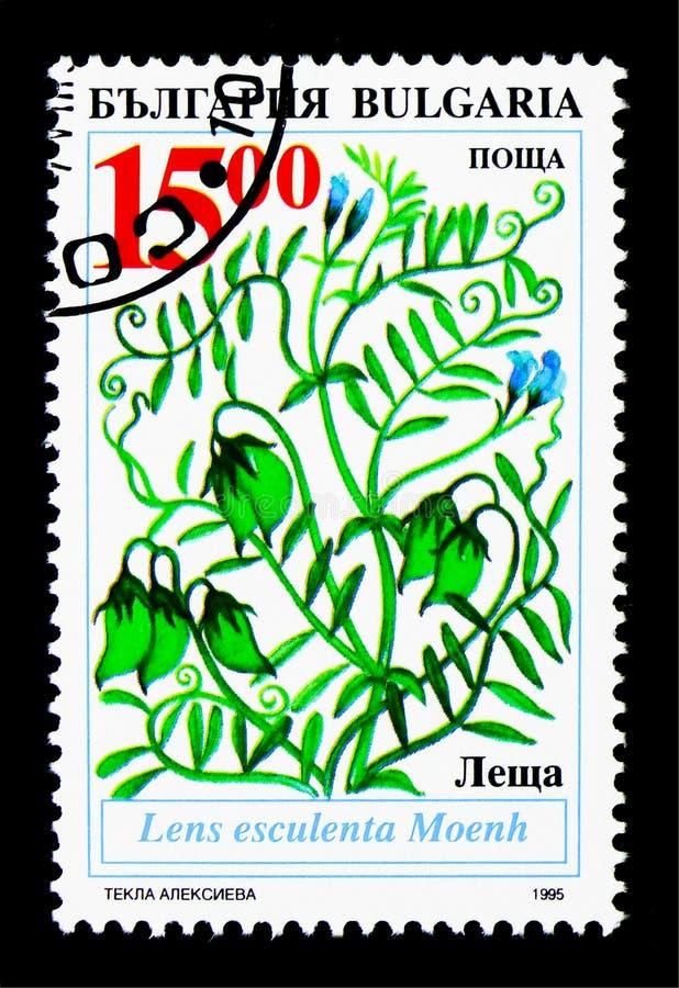 传统农业植物在保加利亚,透镜esculenta Moen 库存照片