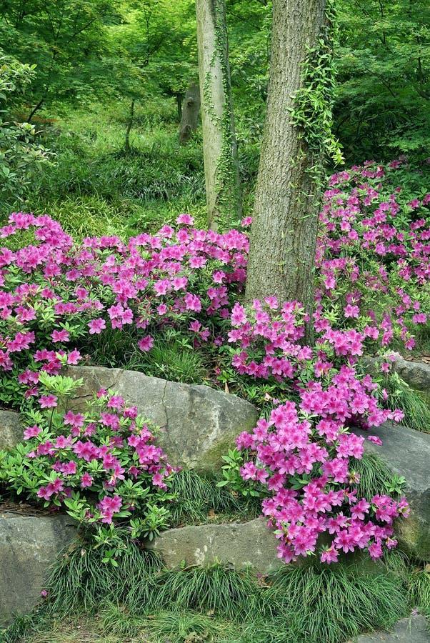 传统杜娟花开花的中国的庭院 免版税图库摄影