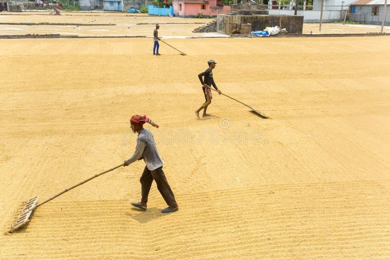 传统碾米机工作者移交烘干的稻 免版税库存照片