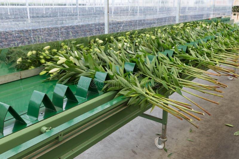 传送带自运输的新被采摘的lilys荷兰温室 免版税图库摄影