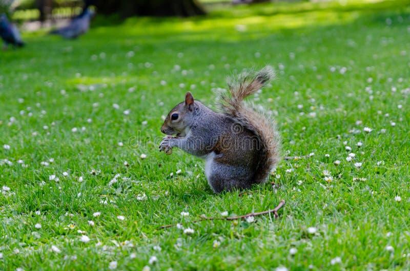 伦敦市/英国:吃花生的圣詹姆斯公园灰色灰鼠 免版税库存图片