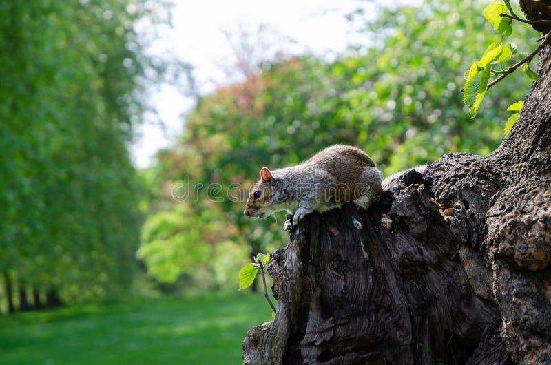 伦敦市/英国:吃花生的灰色灰鼠在圣詹姆斯的公园 免版税库存照片