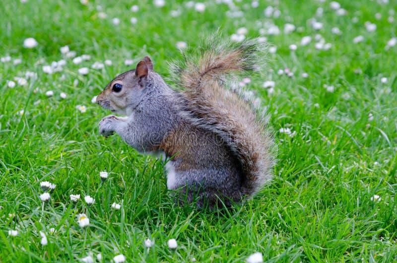 伦敦市/英国:吃花生的灰色灰鼠在圣詹姆斯的公园 免版税库存图片