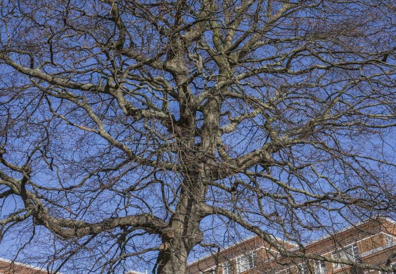 伦敦街道-反对天空蔚蓝的一棵树 免版税库存图片