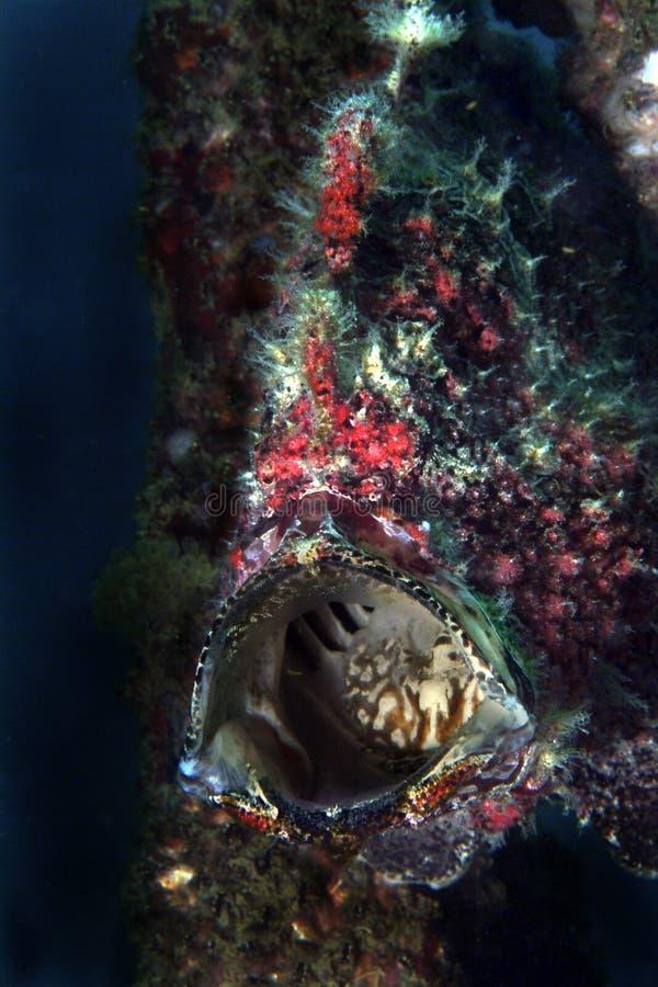 伪装石头鱼, Mabul海岛,沙巴 库存照片