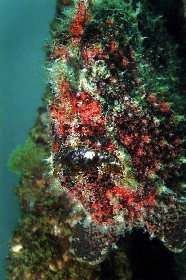 伪装石头鱼, Mabul海岛,沙巴 免版税图库摄影