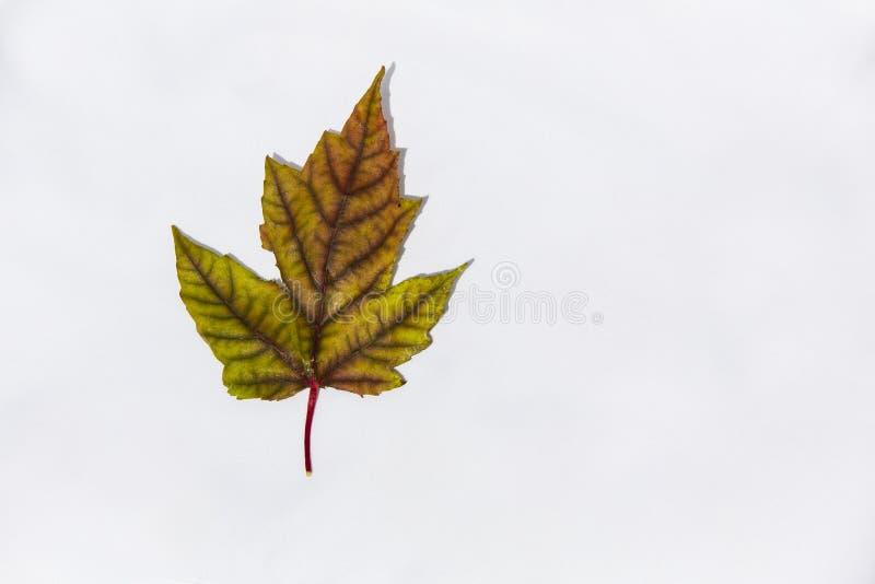 伪装色的秋天枫叶 库存照片