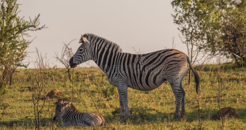 伯切尔的斑马母马和驹在非洲灌木 免版税库存照片