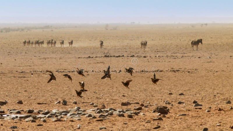 伯切尔的沙鸡群在飞行中上面纳米比亚大草原 免版税库存照片
