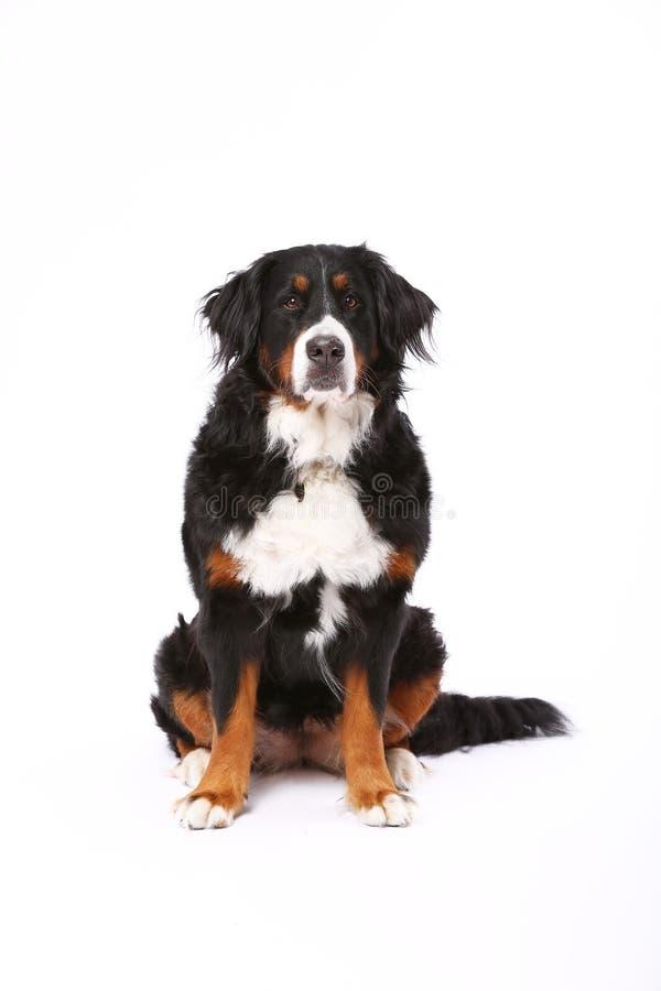 伯尔尼的山狗坐白色 免版税图库摄影