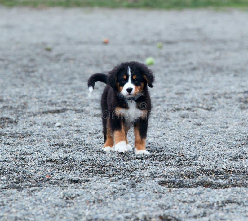 伯尔尼的山狗小狗 图库摄影